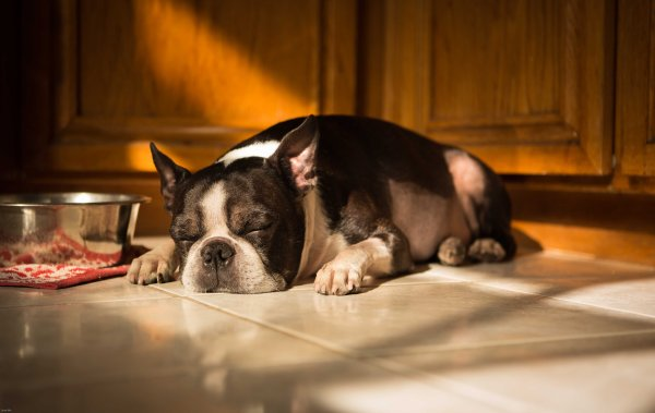 13.01.21 achilles boston terrier by scott wu photography photo do